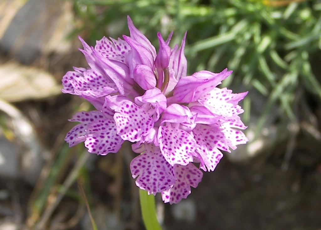 Orchis tridentata