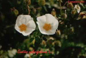 Cistus salvifolius (cisto femmina)