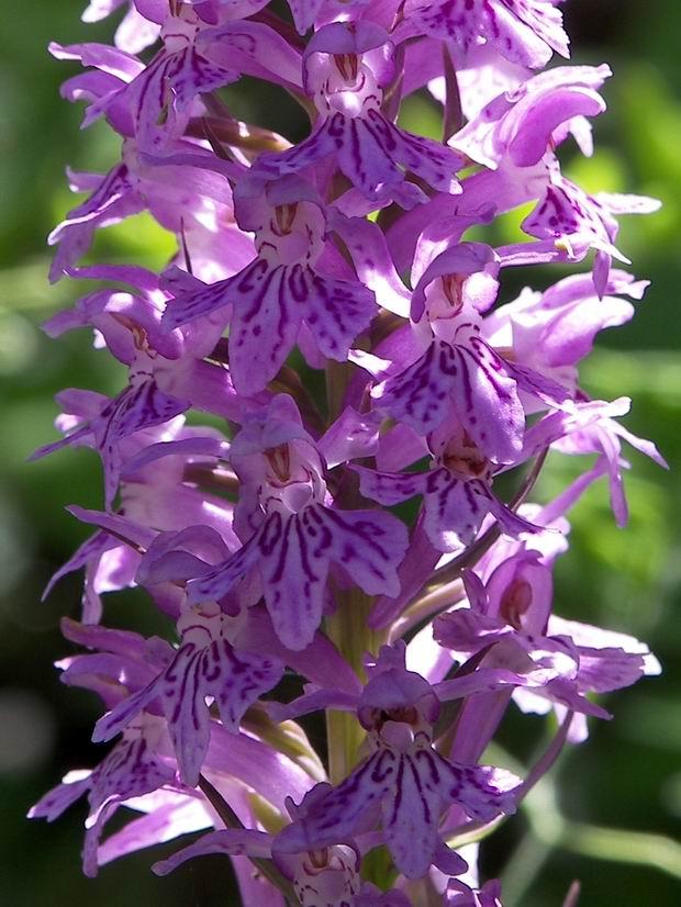 Le orchidee di Castellammare di Stabia e Monte Faito