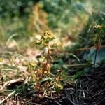 Euforbia calenzuola (Euphorbia helioscopia L.)