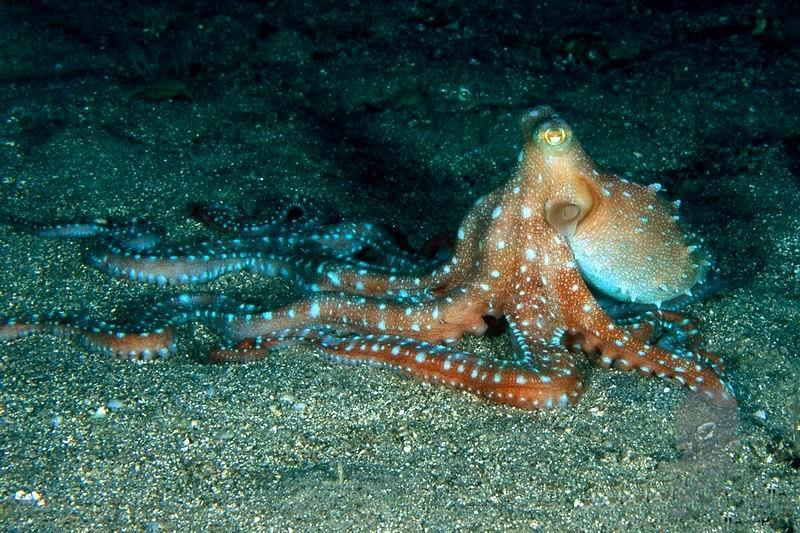 'a purpessa(polpessa - varietà di polpo a lunghi tentacoli)