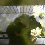 Tritone nei canali di Schito