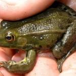 Adulto di rana verde
