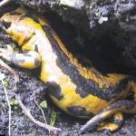 Adulto di salamandra pezzata