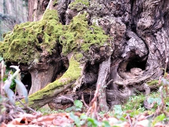 Le nostre radici - bosco di Quisisana (foto Corrado Di Martino)