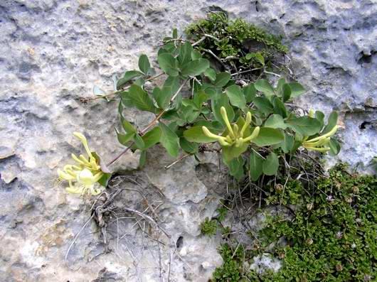 Caprifoglio di stabia in fiore