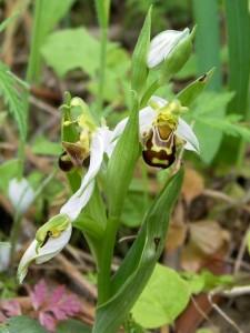 Ophrys apifera Hudson