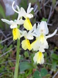 Orchis pauciflora Tenore
