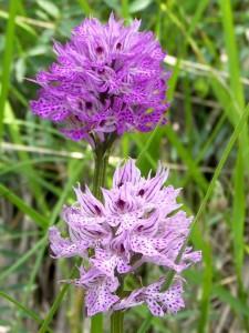 Orchis tridentata Scopoli