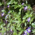 La pinguicula, insetti sulle foglie (P. hirtiflora)