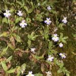 La pinguicula in fiore (P. hirtiflora)