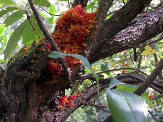 Accumulo del rivestimento coriaceo dei frutti del Corbezzolo, resto di pasto di uccelli frugivori (foto Nando Fontanella)