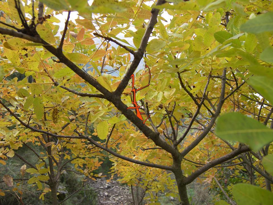 Fasmidi nel bosco.