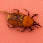 Il punteruolo rosso (Rhynchophorus ferrugineus)