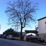 Robinia di via Panoramica, oggi questo albero non esiste più.