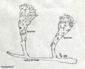 Cytinus hypocistis su radice di Cistus (schizzo a matita F. Fontanella)