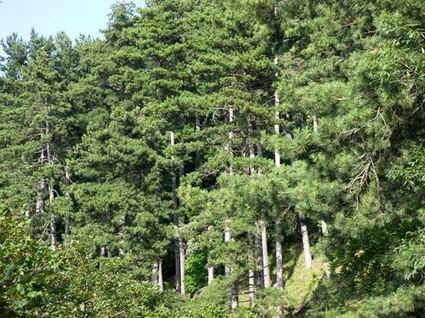 Castellammare di Stabia: un bosco di conifere (foto Fontanella).