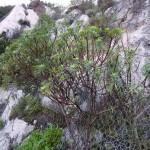 Euforbia arborescente (Euphorbia dendroides L.)