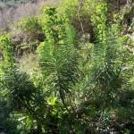 Euforbia cespugliosa (Euphorbia characias L.)