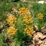 Euforbia cipressina (Euphorbia cyparissias L.)