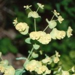 Euforbia delle faggete (Euphorbia amygdaloides L.)