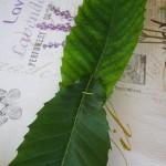 Gli indiani e le foglie del Castagno