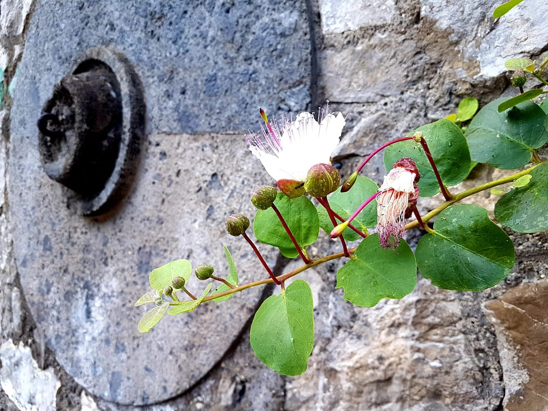 Come rose fioriscono i capperi tra le pietre del Castello di Stabia